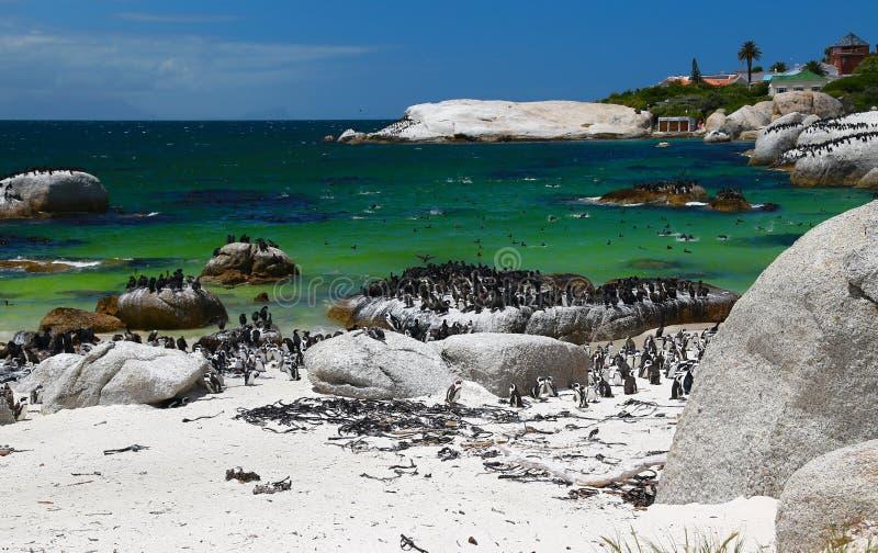 Африканские пингвины на пляже валунов расположенном в Simon& x27; городок Кейптаун s, Южная Африка стоковые фото