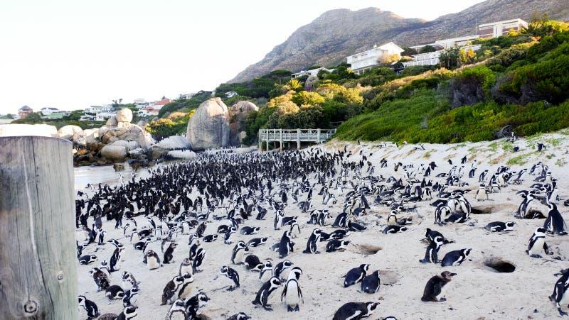 Африканские пингвины стоя на валунах приставают к берегу стоковое фото