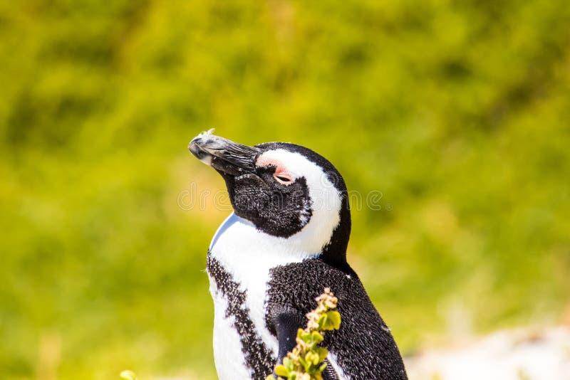 Африканские пингвины стоковое изображение