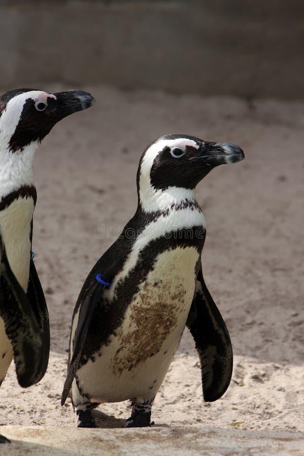 африканские пингвины стоковые изображения