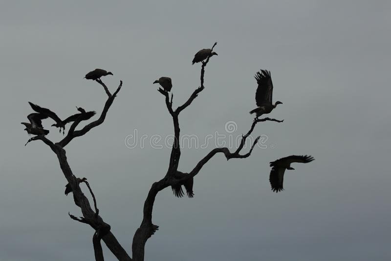 Африканские птицы - хищники - национальный парк Kruger бесплатная иллюстрация