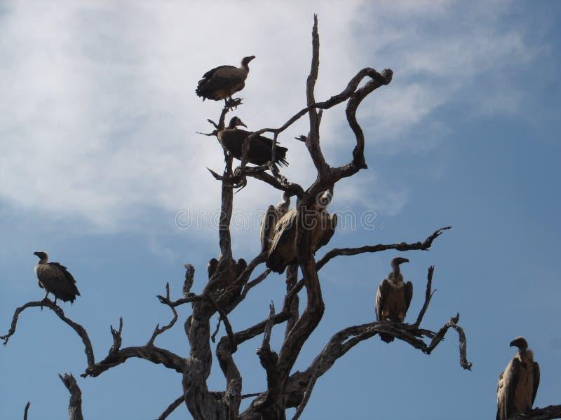 Африканские птицы - хищники - национальный парк Kruger иллюстрация вектора
