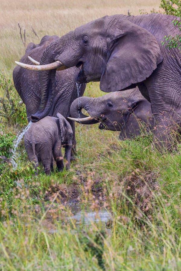 Африканские слоны выпивая от потока стоковые изображения rf