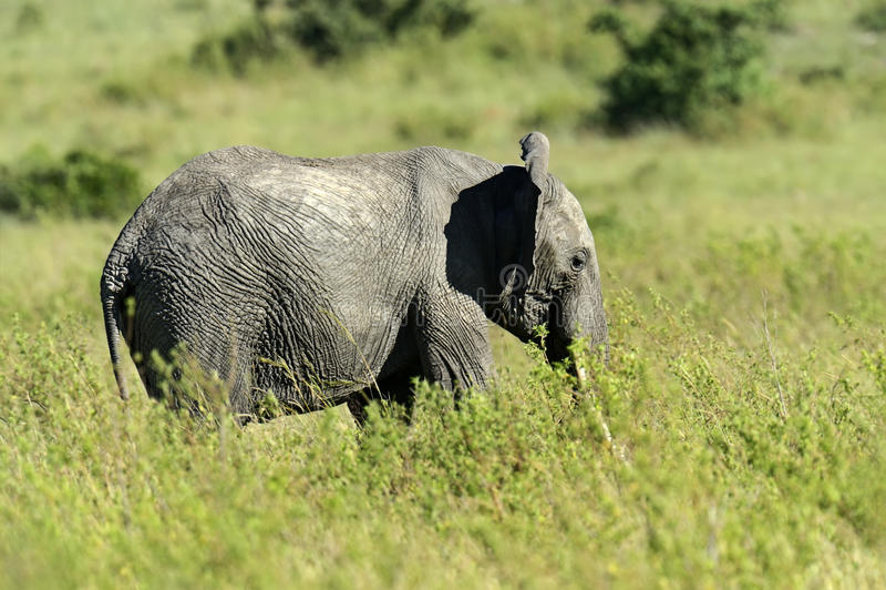 Download Африканские слоны стоковое изображение. изображение насчитывающей afoul - 40582847