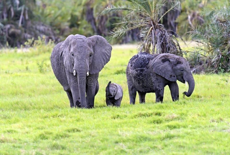Download Африканские слоны стоковое изображение. изображение насчитывающей темы - 40582965
