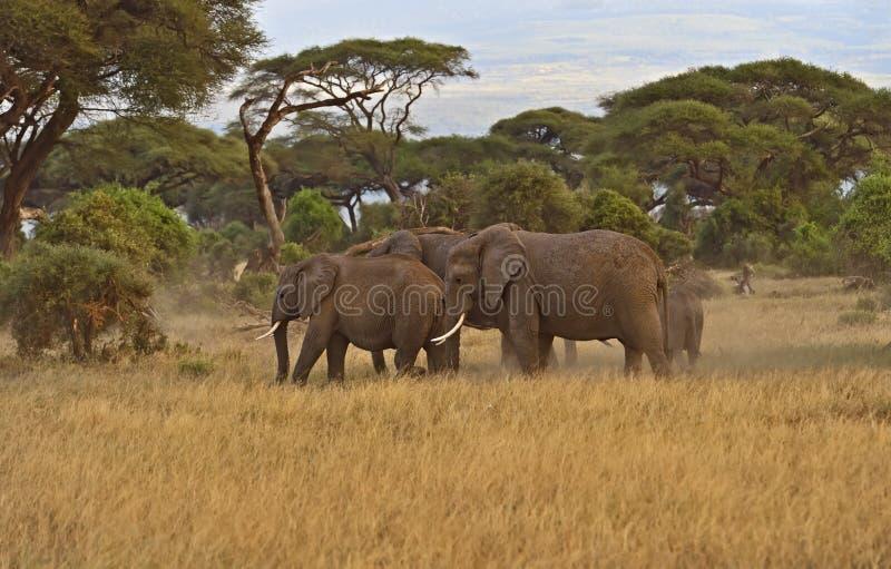 Download Африканские слоны стоковое фото. изображение насчитывающей mara - 40582970