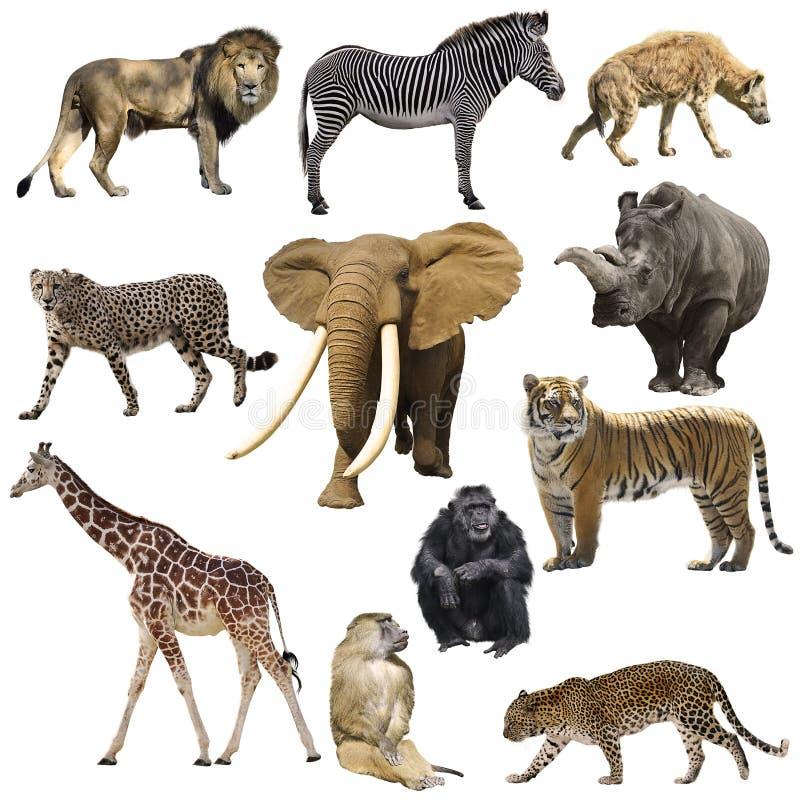 африканские установленные животные стоковые изображения