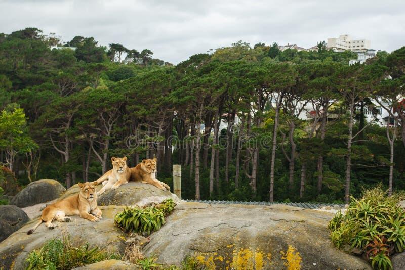 Африканские львы в зоопарке стоковые фотографии rf