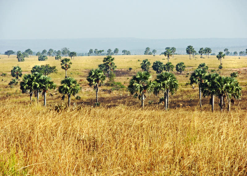 Африканский ландшафт саванны & пальмы Уганда стоковая фотография rf