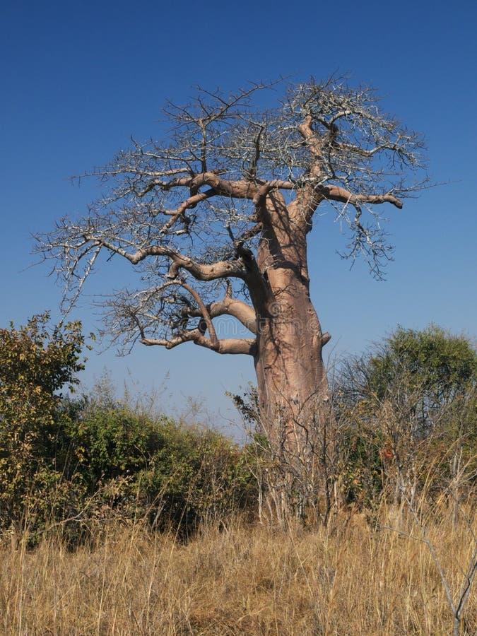 африканский баобаб стоковая фотография