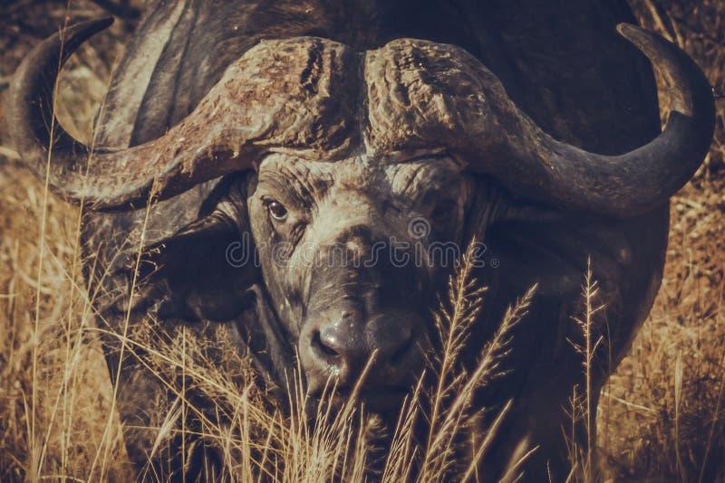 Африканский буйвол в национальном парке Кении Восточной Африке Tsavo западном стоковая фотография