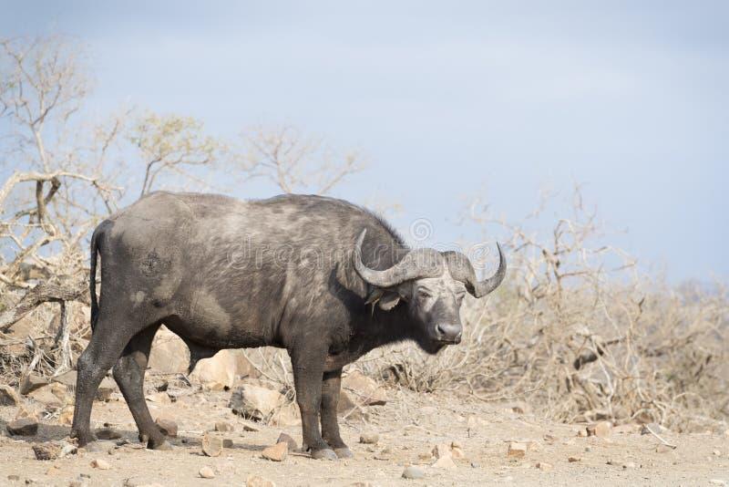 Африканский буйвол смотря камеру стоковые изображения