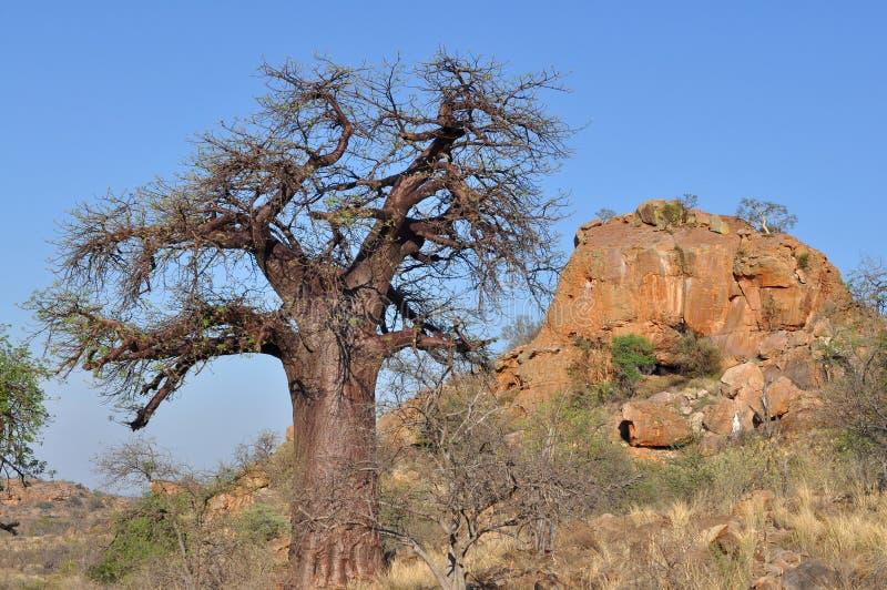 африканский вал ландшафта баобаба стоковое фото
