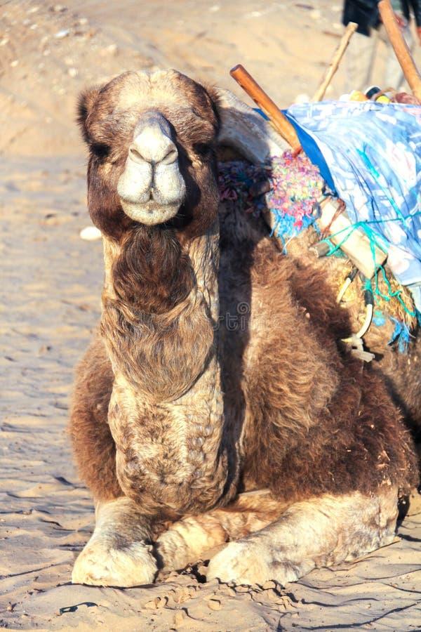 Африканский верблюд сидя в северном оазисе пустыни Сахары стоковое изображение rf