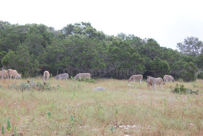 Африканский вид зебры и оленей стоковые фотографии rf