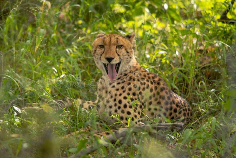 Африканский гепард, национальный парк Mara Masai, Кения, Африка Кот в среду обитания природы Приветствие jubatus Acinonyx котов стоковая фотография