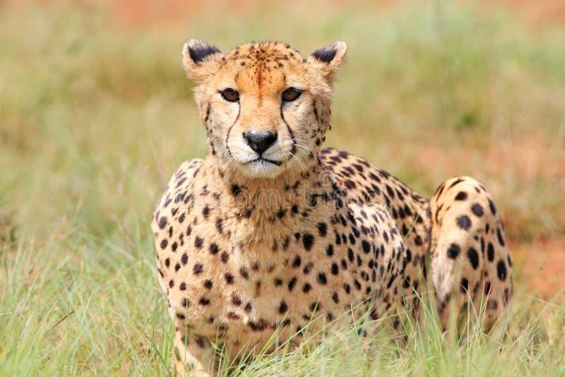 африканский гепард стоковое изображение rf