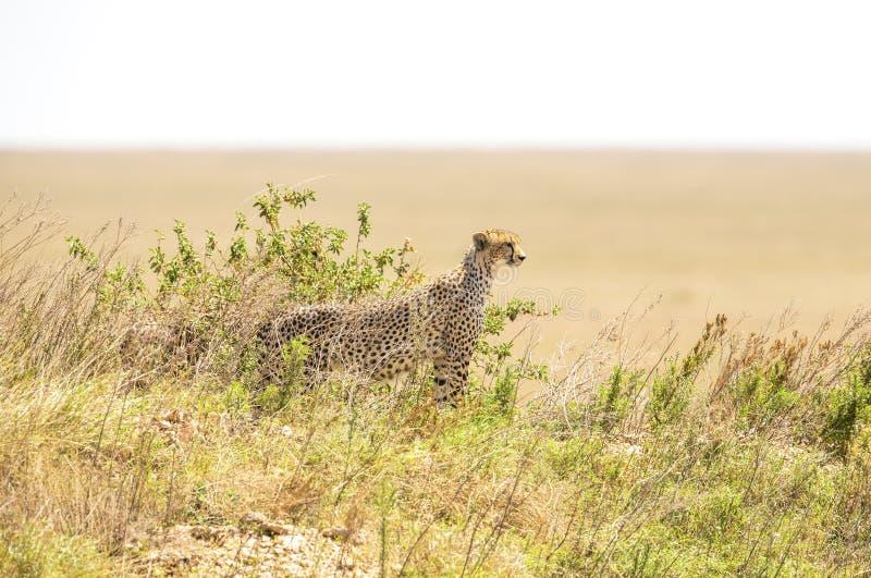 Африканский гепард на холме в Serengeti стоковое фото