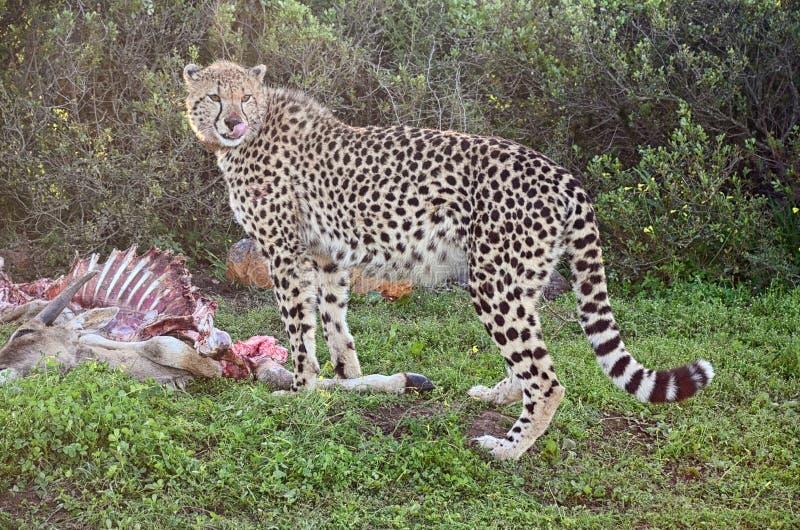 африканский гепард стоковое фото rf