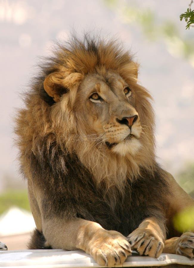Король зверей стоковые изображения rf