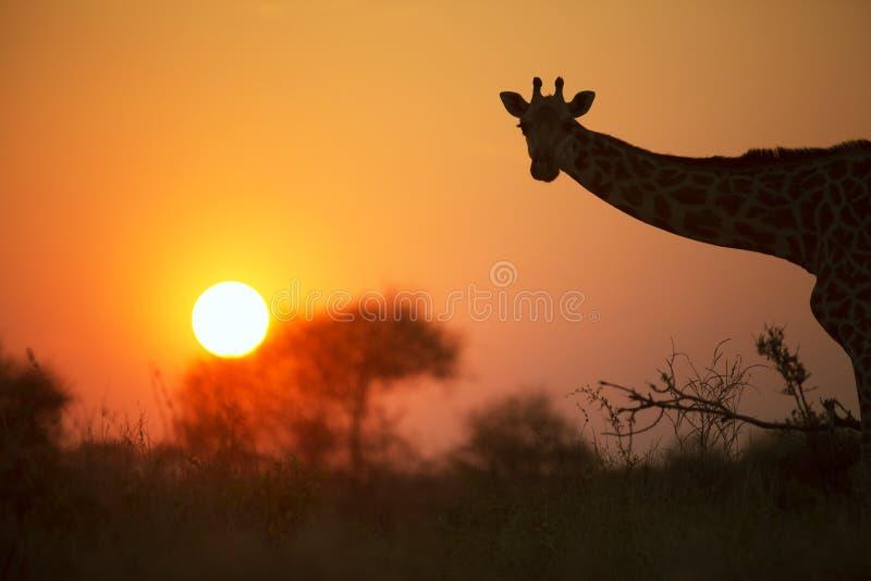 Африканский жираф в красном цвете стоковые фотографии rf