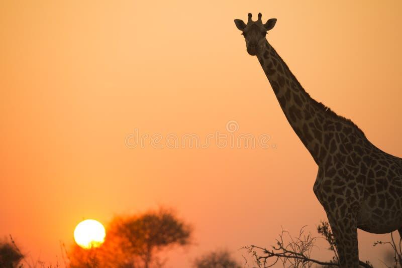 Африканский жираф в красном цвете стоковая фотография rf