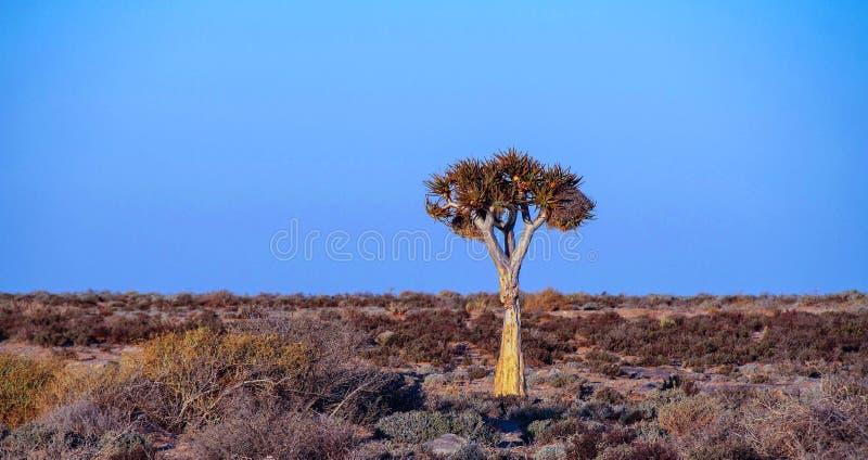 Африканский ландшафт с уединённым деревом колчана стоковое фото