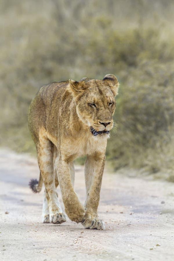 Африканский лев в национальном парке Kruger, Южной Африке стоковое изображение rf