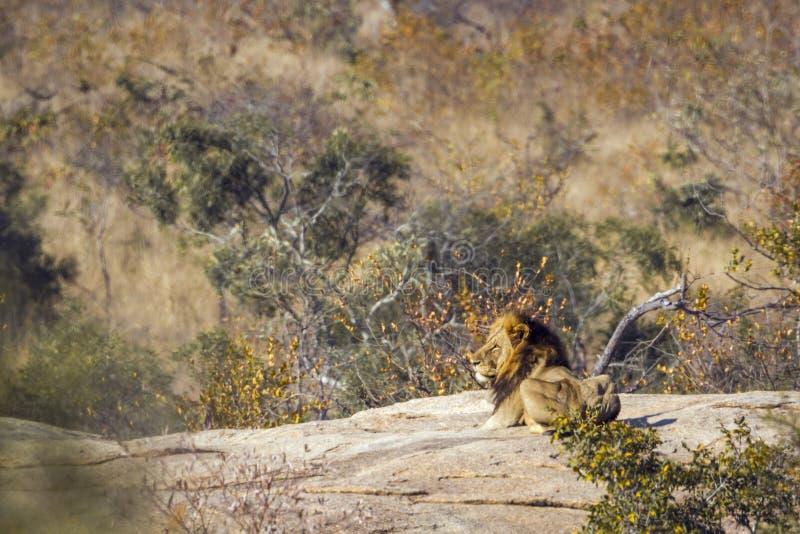 Африканский лев в национальном парке Kruger, Южной Африке стоковые фото