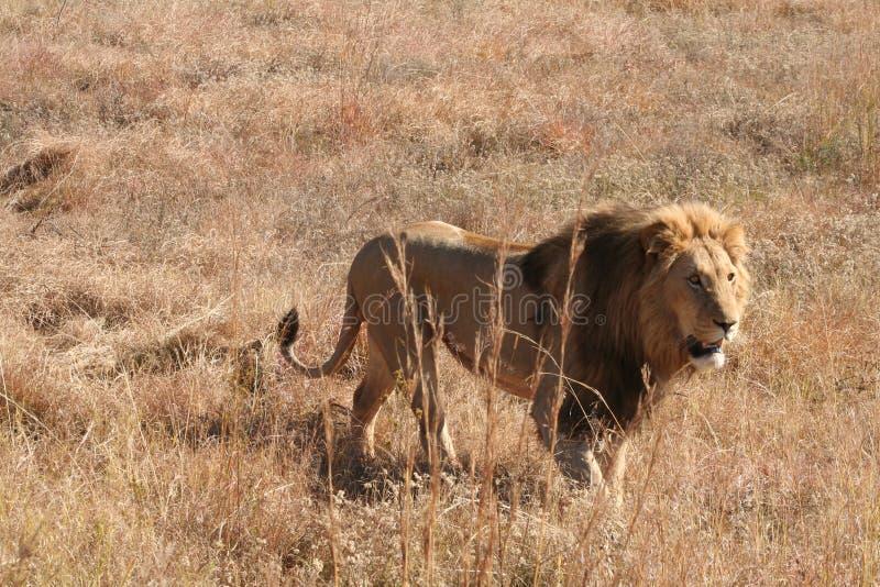 Африканский лев стоковые изображения