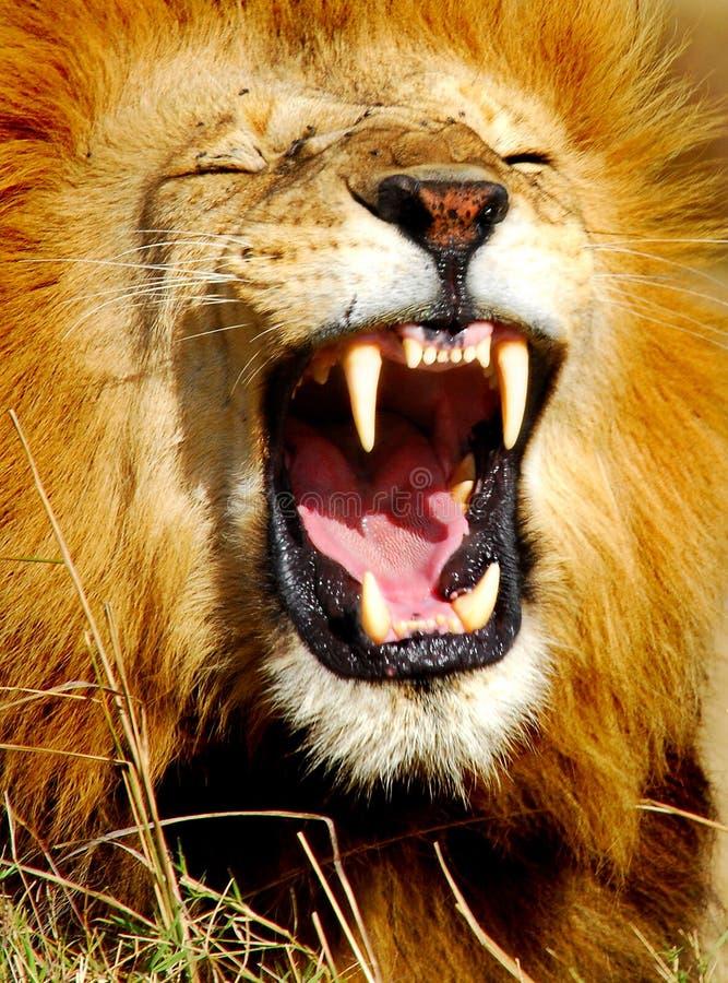 африканский львев зевая стоковая фотография rf