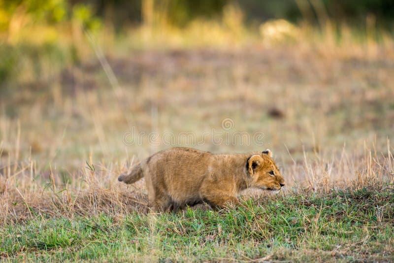 африканский львев новичка стоковое изображение
