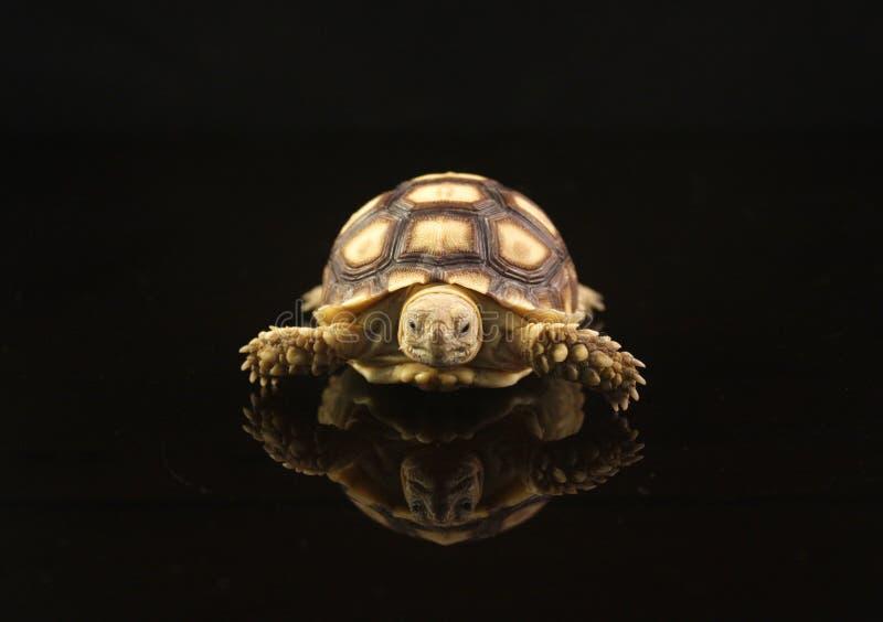 африканский младенец пришпорил черепах стоковое фото