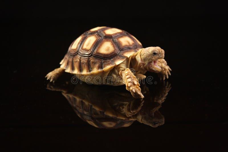африканский младенец пришпорил черепах стоковое изображение