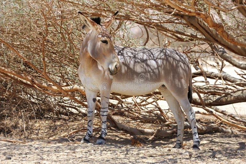 Африканский одичалый ишак стоковое фото