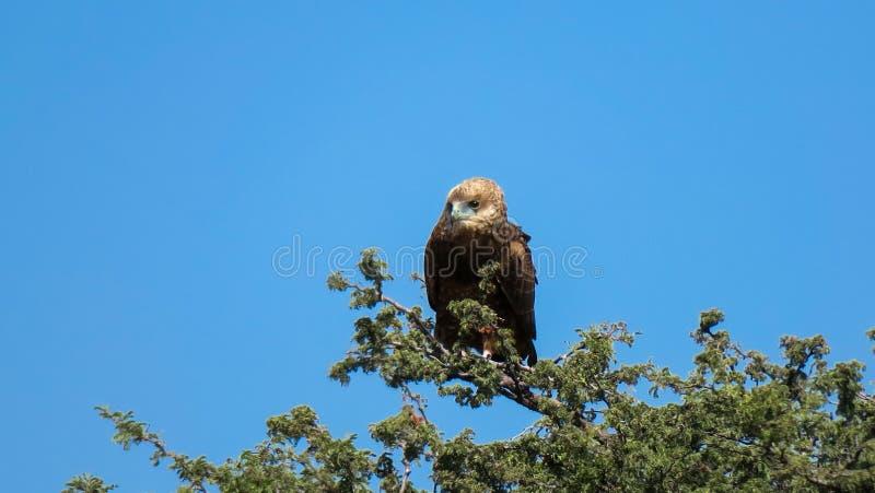 Африканский орел упоением сидя на ветви дерева стоковая фотография rf