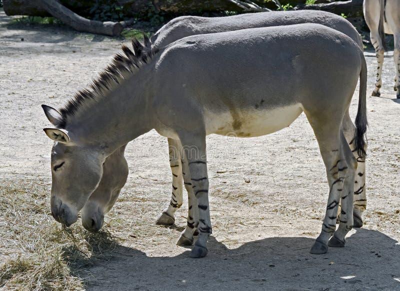Африканский одичалый ишак стоковая фотография rf
