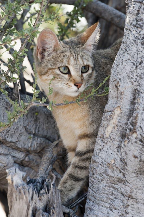 Африканский одичалый кот стоковые изображения rf
