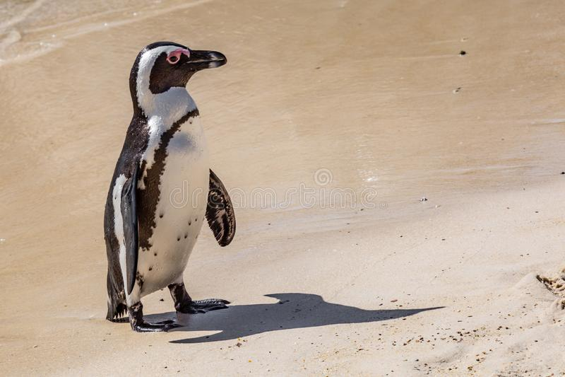 Африканский пингвин на пляже стоковая фотография
