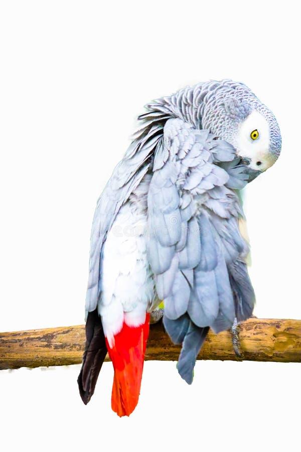 Африканский серый изолированный попугай стоковая фотография
