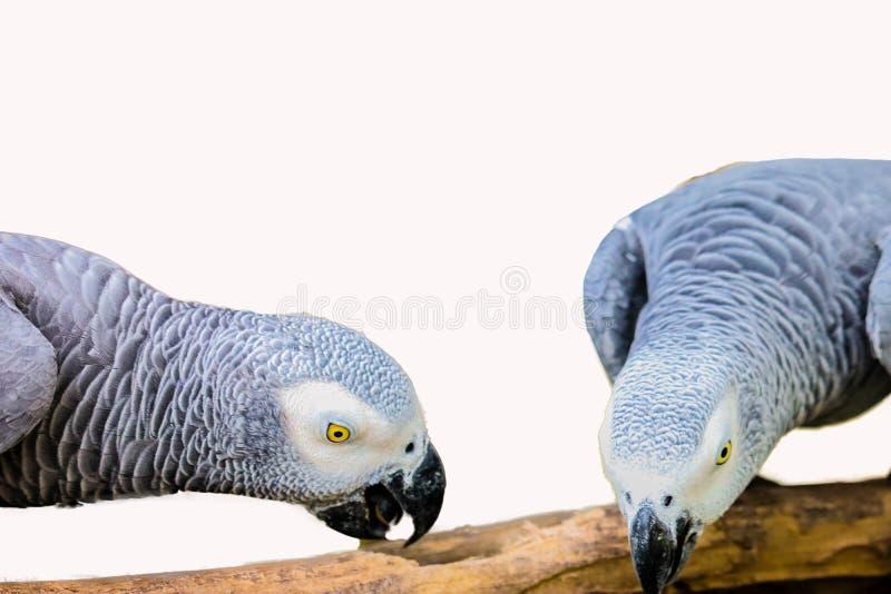 Африканский серый изолированный попугай стоковые фото