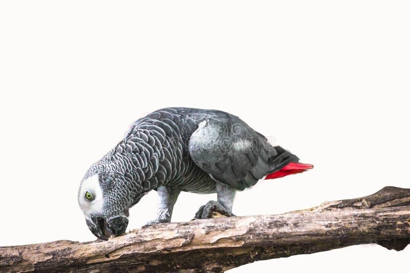Африканский серый изолированный попугай стоковые изображения