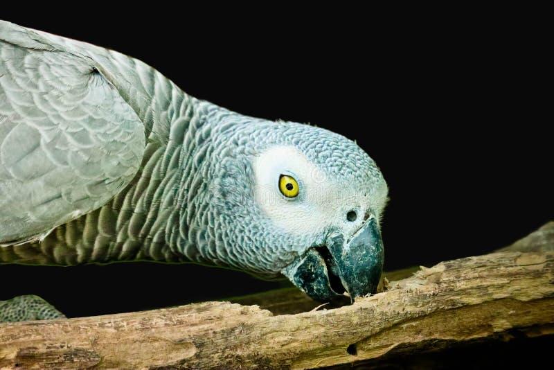 Африканский серый изолированный попугай стоковое изображение rf