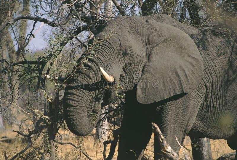Африканский слон Ботсвана Moremi стоковое изображение