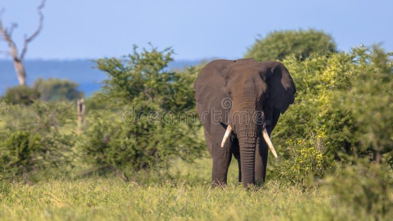 Африканский слон идя в bushveld стоковая фотография