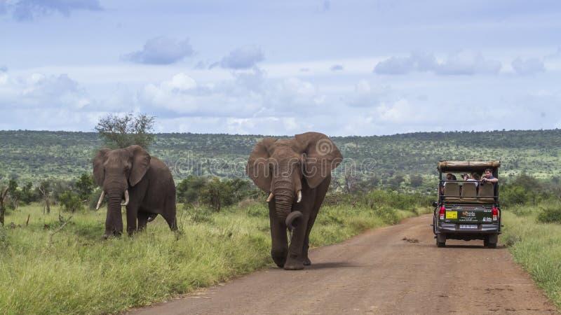 Африканский слон куста в национальном парке Kruger, Южной Африке стоковые изображения