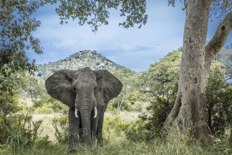 Африканский слон куста в национальном парке Kruger, Южной Африке стоковая фотография rf
