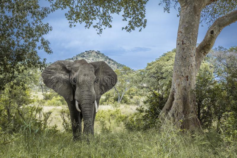 Африканский слон куста в национальном парке Kruger, Южной Африке стоковое изображение rf