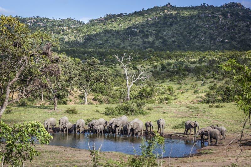 Африканский слон куста в национальном парке Kruger, Южной Африке стоковые изображения rf