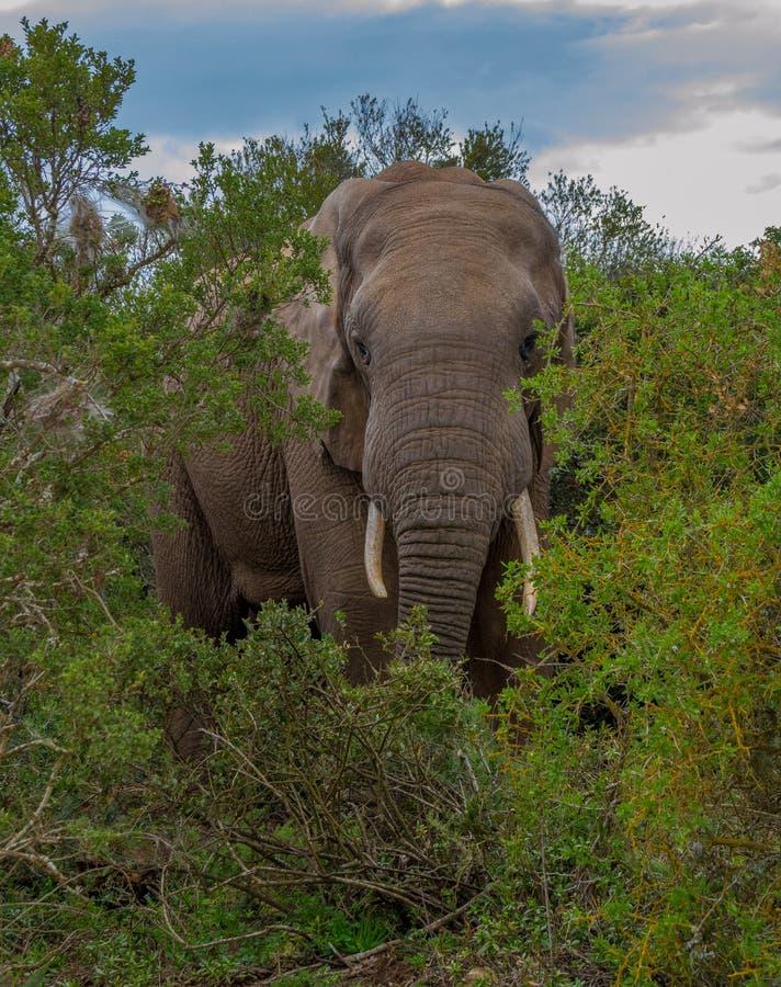Африканский слон часть Большой Пятерки стоковое фото